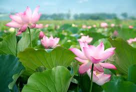 Lotus Flower Parts - lotus perfume ingredient lotus fragrance and essential oils
