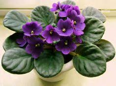 water cyclamen from the bottom only when they droop and they are