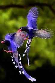 imagenes del animal urraca urraca azul animales por angel catalán rocher sígueme