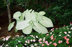 garden white caladiums