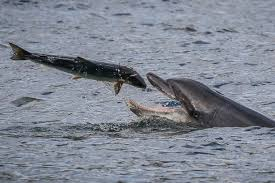 Seeking Dolphin Jaw Dropping Moment Fleeing Salmon Leaps Right Into Pursuing