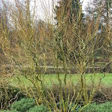 salix babylonica tortuosa twisted willow tree dragons claw willow