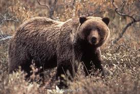 Bears Montana Hunting And Fishing - two weekend incidents involving grizzly bears archery