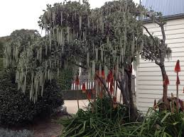 native plants tasmania garrya elliptica a great structure plant that has these lovely