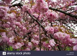 Trees With Pink Flowers Cherry Tree Prunus Sargentii With Fresh Pink Flowers In Early