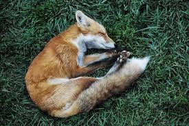 sleeping red fox wallpapers a sleeping fox imgur