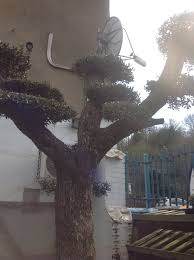 cloud pruned olive tree for sale free delivery in mainland u k
