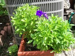 container egg plants cheryl u0027s garden goodies