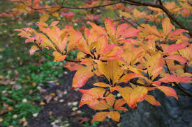 maine native plants redvein enkianthus a non native tree for the garden in tune with