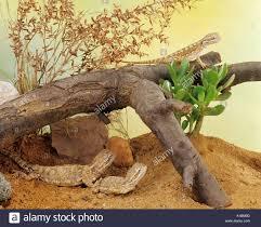 three black soil bearded dragon in terrarium pogona henrylawsoni