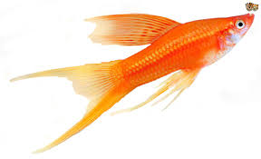 3 great choices of pet fish for children pets4homes