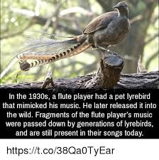 Flute Player Meme - in the 1930s a flute player had a pet lyrebird that mimicked his