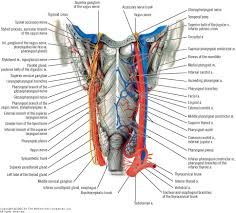 Human Anatomy Cervix A Reversal Of The Neck Curve U2014 When U201ccommon U201d Becomes The Norm