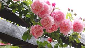 how to plant a rose garden