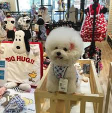 bichon frise instagram this dog that looks like a fluffy cotton ball is an instagram