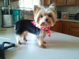 yorkie hairstyles yorkie haircut exles 161 best yorkie images on pinterest yorkie dog grooming styles