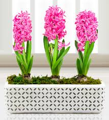 mothers day plants hyacinths for mothers day plants 24 99 free chocolates