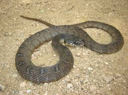 water snakes are commonly encountered in the dallas fort worth area