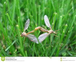 mating crane flies royalty free stock image image 7439246