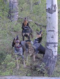 bluetick coonhound kennels in tennessee rocky mountain blue ticks rocky mountain blue ticks home