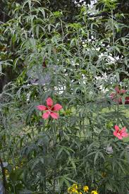 native plant solutions swamp mallow a hardy native hibiscus for wet soils