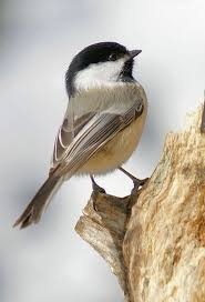 421 best birds chickadee images on pinterest chickadees