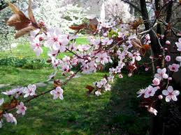 plum tree blossoms are sure sign of silive