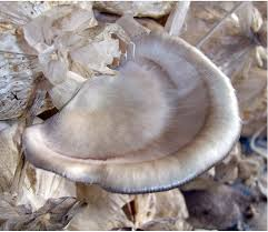 amazon com florida oyster mushroom pleurotus ostreatus