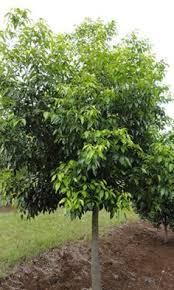 blueberry ash elaeocarpus reticulatus search