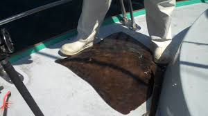 Barn Door Electric by Rare Barndoor Skate Landed While Fishing In Gulf Of Maine Youtube
