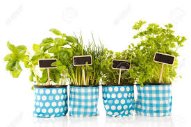 kitchen herbs several pots with kitchen herbs on white background stock photo