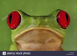 barro colorado island panama eyed tree frog agalychnis