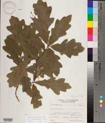 218 best native plants images quercus alba species page apa alabama plant atlas