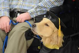 dog graduation cap and gown lessons in caring service dog offers proof future is in