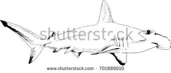 attacking great white shark snarling mouth stock illustration