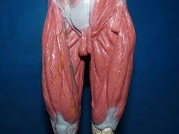Human Anatomy Muscle Human Muscle Anatomy Model Www Uocodac Com