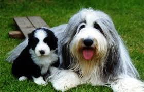 bearded collie adoption bearded collie and mid maryland celtic festival