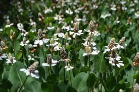 herbal medicine albuquerque herbalism
