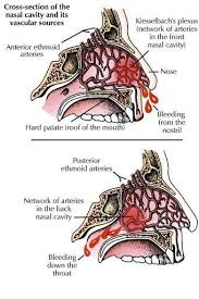 Anatomy And Physiology Of The Back Epistaxis Basics Anatomy Physiology And Pathology Epomedicine