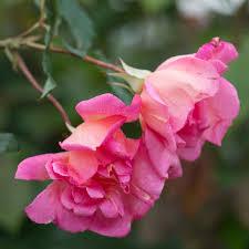 roses china china roses david roses