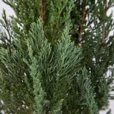 2 5 qt blue point juniper live evergreen shrub tree 3373q the