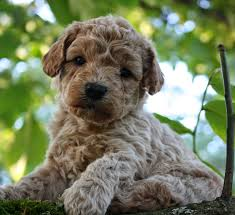 australian shepherd labradoodle rules of the jungle labradoodle puppies