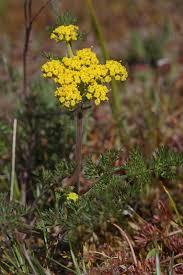 native american edible plants lomatium wikipedia