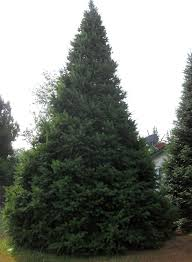 large live christmas trees order jfp christmas trees