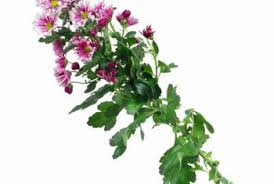 sweet william flowers how to grow care for sweet william flowers home guides sf gate