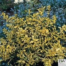 All Year Flowering Shrubs - 192 best shrubs images on pinterest landscaping shrubs and garden