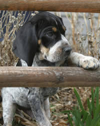 bluetick coonhound energy level bluetick coonhound dog breed history temperament care training