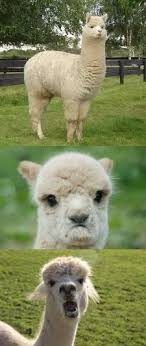 Alpaca Sheep Meme - alpaca bad pun memes imgflip