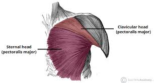 Muscle Anatomy Of Shoulder Muscles Of The Pectoral Region Major Minor Teachmeanatomy