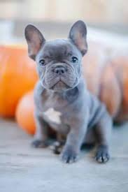 what to know before owning a blue french bulldog puppy